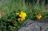 Bird's foot trefoil (1)