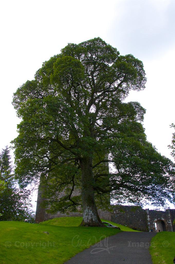 Maple tree (2)