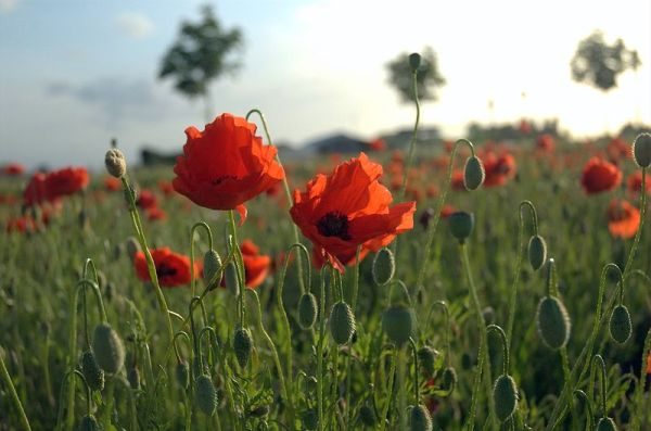 Poppies at Mohnblumenfeld in Flanders - Tijl Vercaemer via Wikimedia (not reproduced in the book)