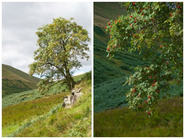 Mountain Ash collage
