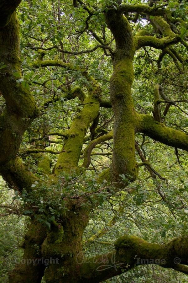 Oak tree (1)