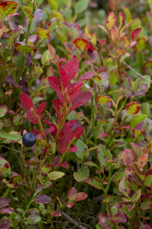 Bilberry leaves
