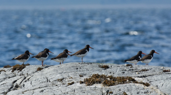 Oystercatchers 27