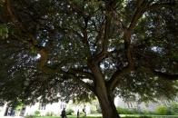 Holm oak (2)