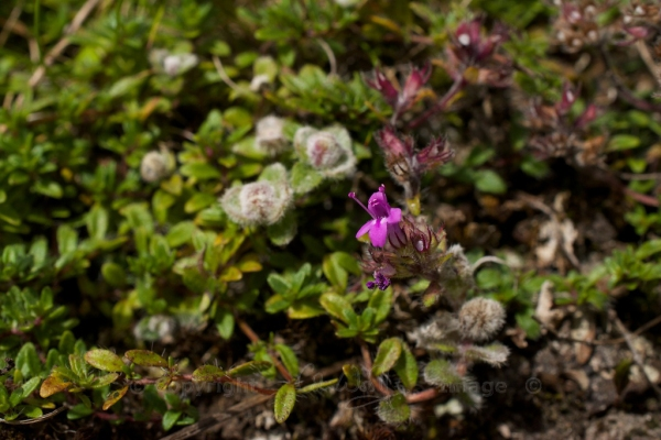 Wild thyme flowers 7