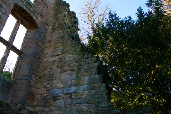 Yew tree by Dunfermline Palace