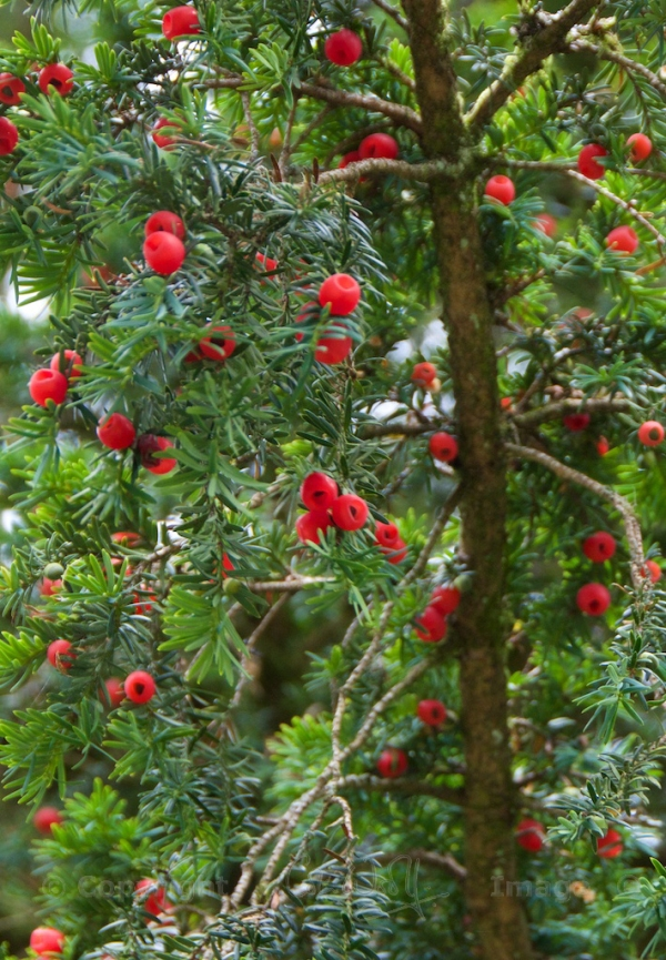 Red 'arils' on a female yew