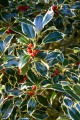 Variegated holly (2)