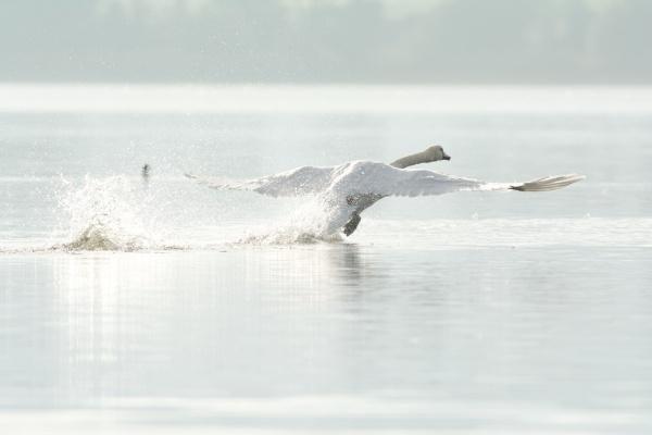 Loch Leven Castle - mute swan