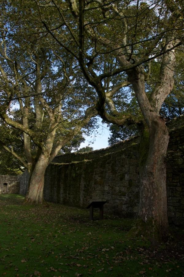 Loch Leven Castle  - sycamores