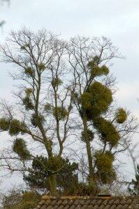 Mistletoe-infested tree, Cambridgeshire (pic by OrangeDog via Wikimedia)