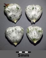 Even the seeds are heart-shaped! (pic by Stefan Lefnaer, via Wikimedia)