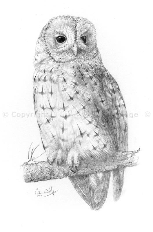 Tawny-Owl-14-ws
