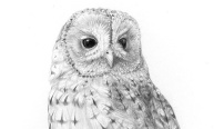 Tawny owl - pencil drawing (crop)