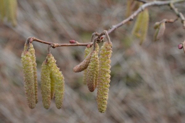 The small buds will open out into pinkish red flowers