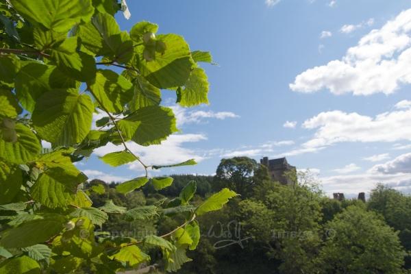 Ripening hazel nuts near Castle Campbell