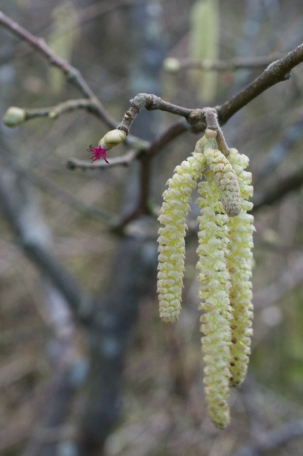 Hazel catkins and flowers