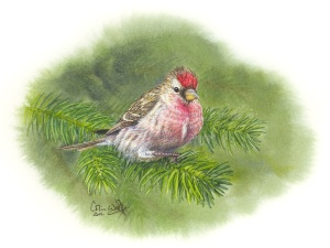 Redpoll by Colin Woolf