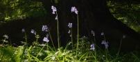 Bluebells crop