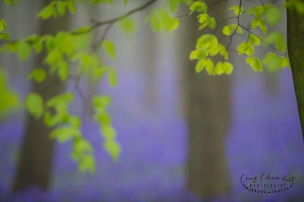Craig Churchill bluebells