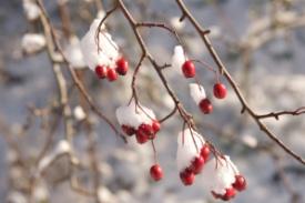 Hawthorn berries (2)