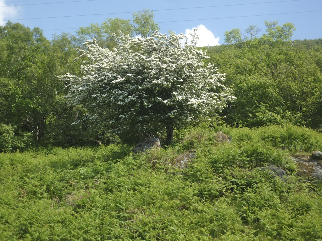 Hawthorn tree (15)