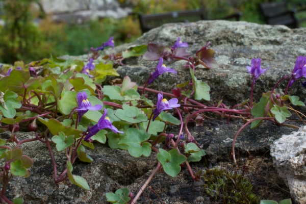 Ivy-leaved toadflax (2)