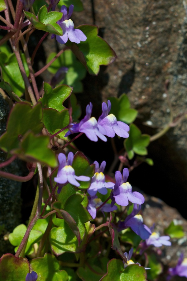 Ivy-leaved Toadflax (3)