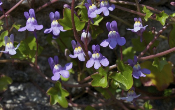 Ivy-leaved Toadflax (5)