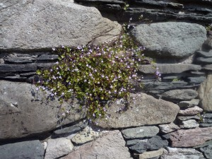 Ivy-leaved Toadlflax (13)