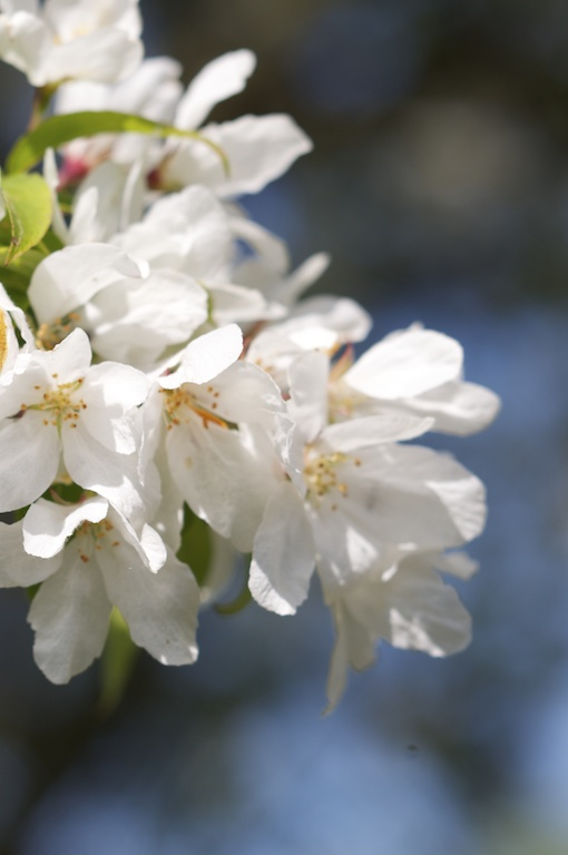 Prunus, wild cherry blossom