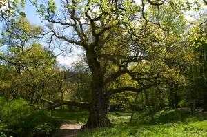 Birnam Oak (4)