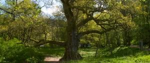 Birnam Oak Crop