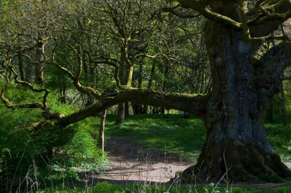 Birnam Oak, Dunkeld 2