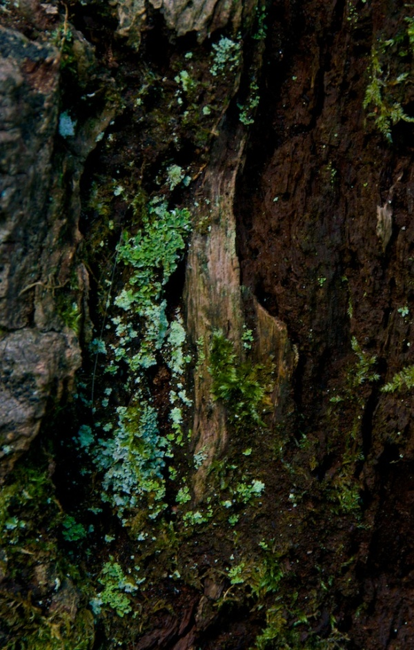 Lichens on the bark