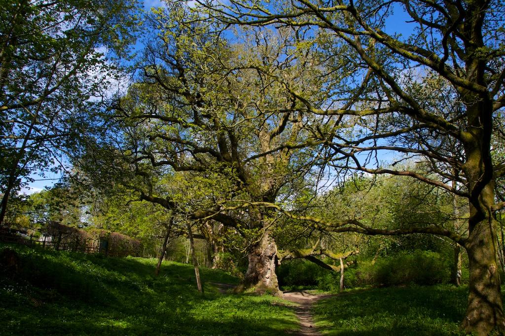 Birnam Oak (11)