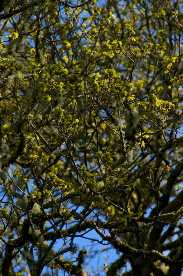 Birnam Oak (5)