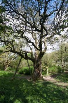 Birnam Oak (10)