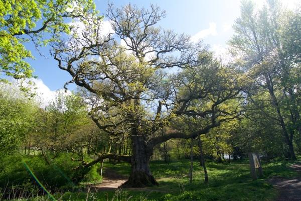 Birnam Oak (12)