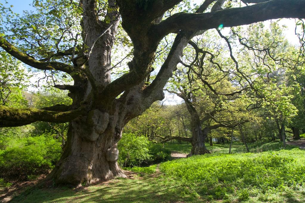 Birnam Sycamore (left) and Birnam Oak