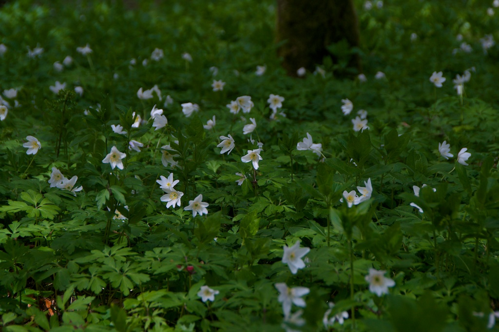 Wood anemones, Dunkeld