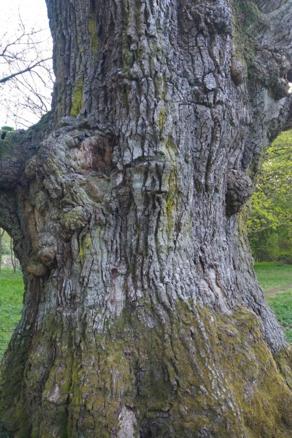 Birnam oak - trunk