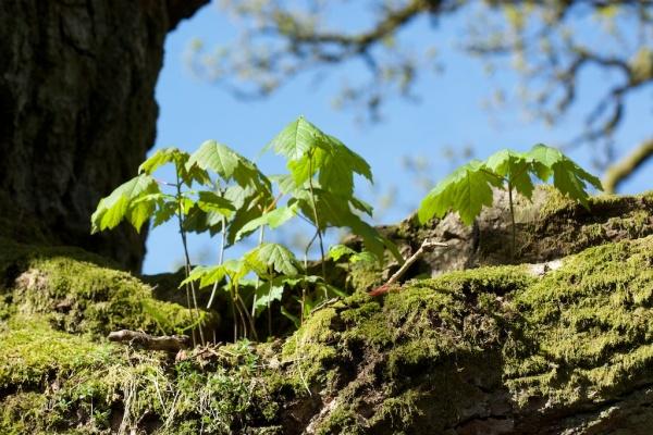 Birnam Oak sycamore seedlings