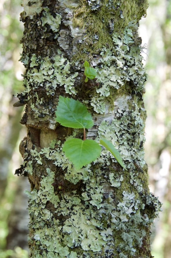Birch bark with lichen