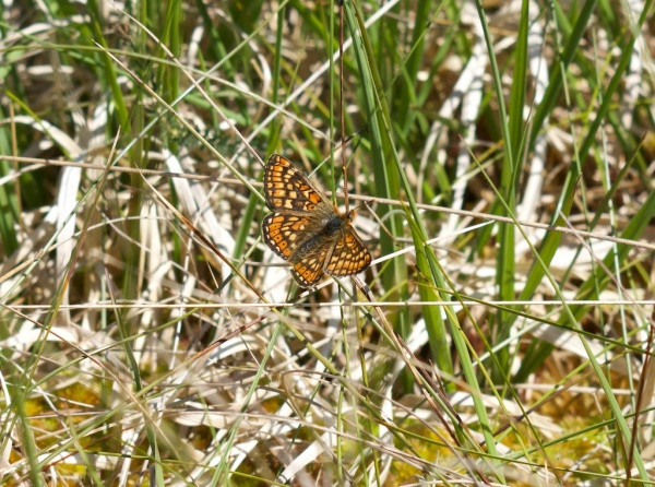 Marsh Fritillary, Taynish woods 1 (Colin) 2