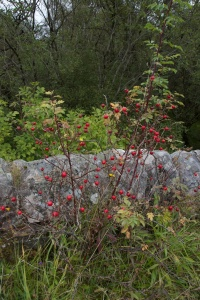 Rose hips, Brenchoille (1)