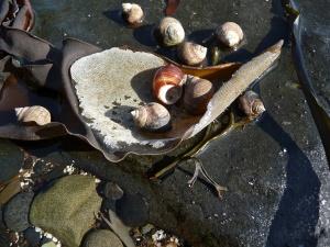 Periwinkles on kelp