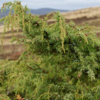 The fragrance of juniper