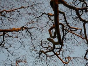 Beech Trees in Winter 2