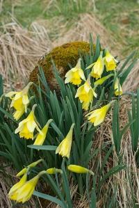Daffodils (Grandtully)